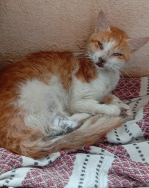 Adult Female Cat -Fostering