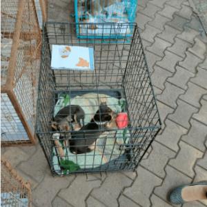 black puppy - pet adoption camp margao
